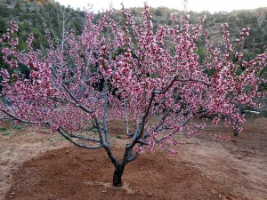 The fully flowering 'Reliance' peach tree, considered a late season bloomer (Mar. to April) is subject to late season killing frosts (April) in our USDA Zone 5.