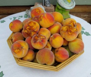 Even the previously pecked fruits are harvested. The chickens get the pecked pieces, but we eat every last bite of the just 10.5 pounds of perfectly tree ripened, juicy, sweet peaches.