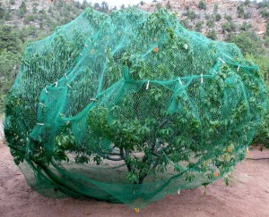 Bird netting encapsulates the peach tree to thwart peach thieves squirrels and chipmunks and to discourage the birds that peck the ripened fruit. Clothespins close any gaps and repair holes.