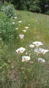 Plant flowers you might find in a meadow, including showy mariposa lilies.