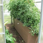 Tomato plants growing strong three weeks later.