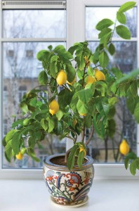 If you bring a citrus tree indoors, don't let it completely dry out or its leaves will turn yellow and drop like crazy. Water when the soil is barely damp, and feed the tree regularly with an organic fertilizer formulated for growth, not flowers. (photo: fotografas edgaras)