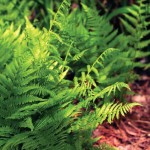 Alpine Lady Fern