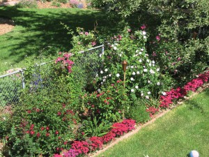 Bruny's fence garden sports clematis blooms in shades of pink and purple, red and pink roses, purple lavender and hot-pink dianthus.