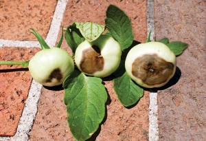 Blossom-end rot on tomatoes could be from a calcium deficiency, but more likely stems from irregular, shallow watering.