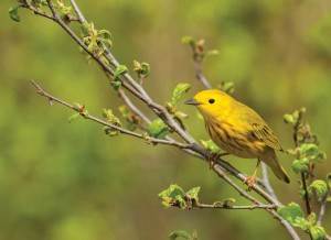 Rocky-Flats-Yellow-Warbler-by-Jay-Petersen