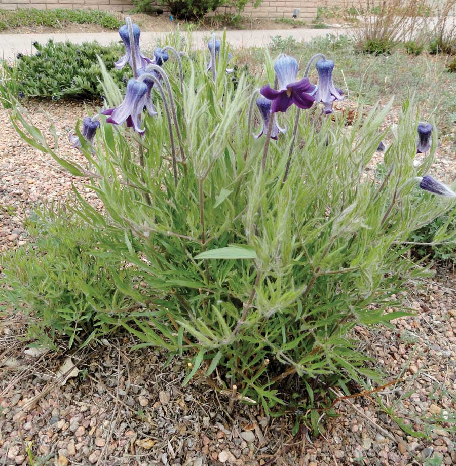 wild native plants that are suitable for local gardens boulder
