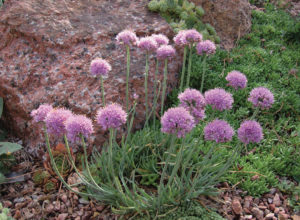 Allium senescens (photo by Panayoti Kelaidis)
