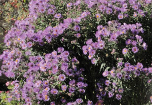 Aster novae-angliae (photo by Panayoti Kelaidis)