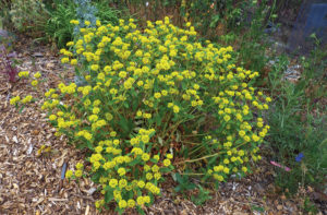 Eriogonum allenii (Photo by Panayoti Kelaidis)