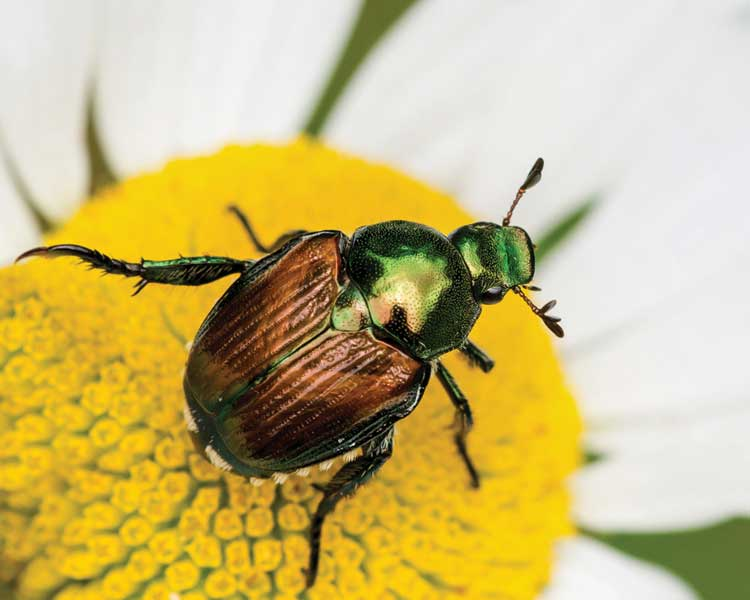 Bugs B Gone A Guide To Natural Pest Control Anese Beetle